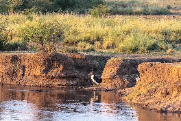 Марабу на берегу реки мара