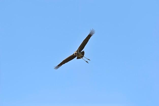 マサイマラ国立公園のアフリカハゲコウ。ケニア。アフリカ。