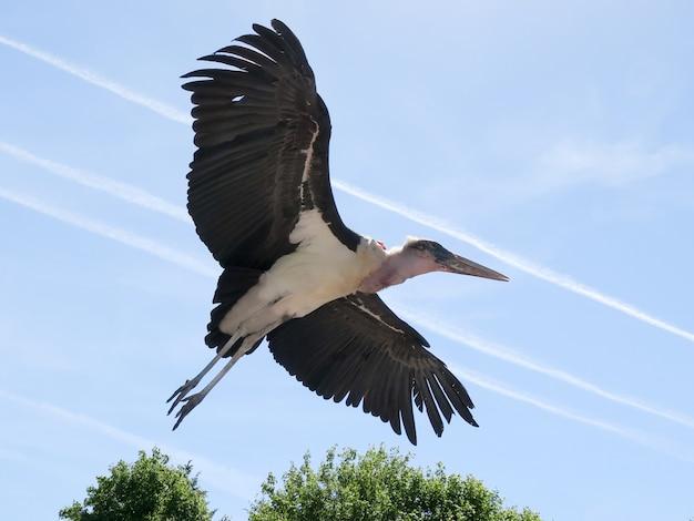 Marabout bird of africa taking flight