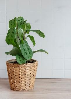 テーブルの上の鍋、観葉植物のマランタロイコネウラkerchoveana