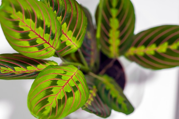 Maranta tricolor isolated on white background. beautiful home leaves the plant isolated on white background
