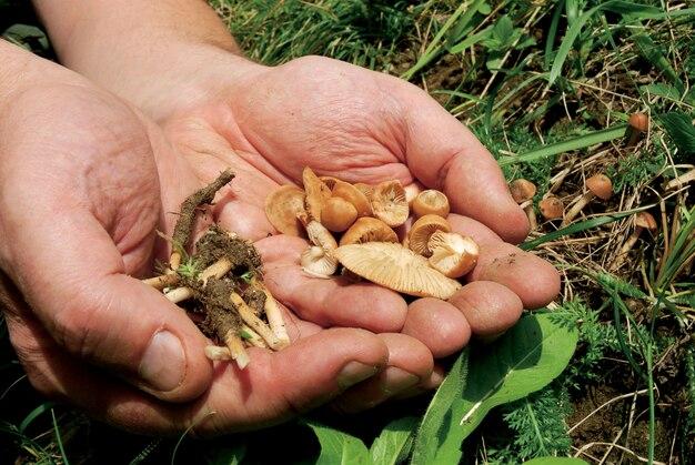 Marasmius oreades mushrooms