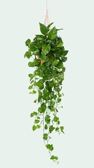 대리석 포토스 실내 교수형 식물