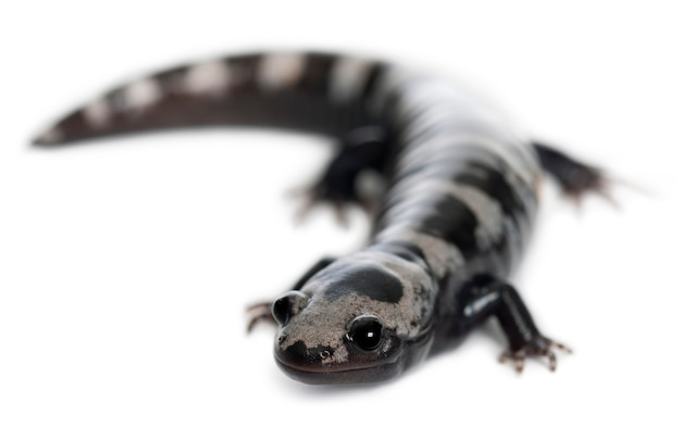 Мраморная саламандра (ambystoma opacum)