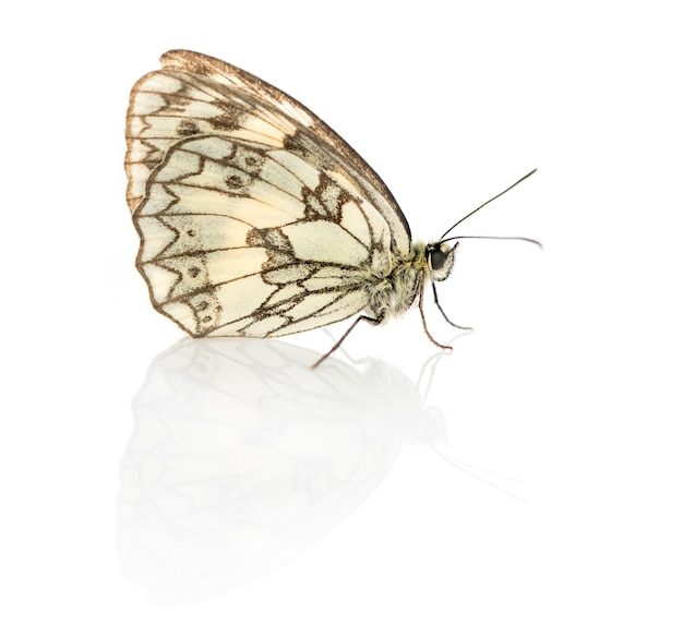 Marbled white, melanargia galathea in front of a white surface