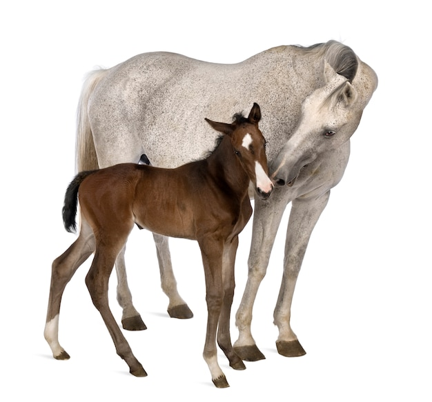 Mare and her foal standing in front of white background