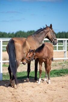 牧草地のパドックで馬と馬