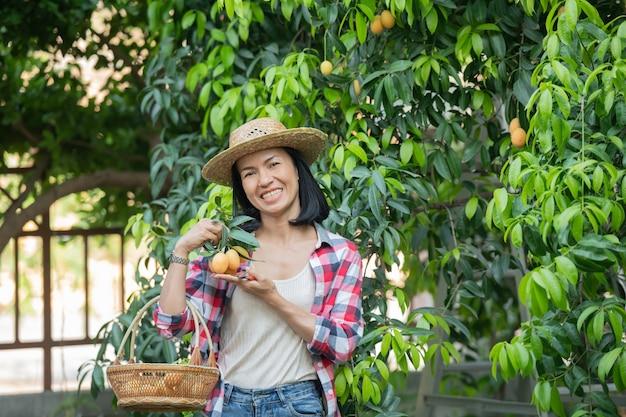 마리안 자두, 마리안 망고 또는 플 랑고 (태국어로 마용 칫) 수확기는 2 월부터 3 월까지입니다. s weet 노란색 마리안 매 화 잔뜩 들고 여자 농업가의 손.