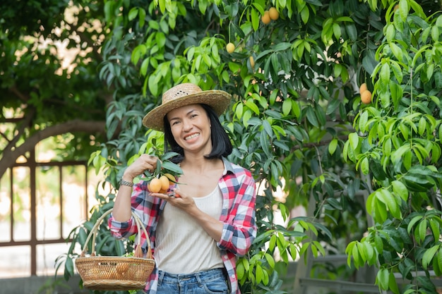Marian plum,marian mango or plango (mayongchit in thai) the harvest season lasts from february to march. hand of woman agriculturist holding a bunch of s weet yellow marian plum.