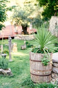 マリーゴールドの茂みと小さなヤシの木が芝生の古い木製の樽で育ちます