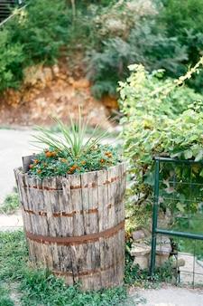 マリーゴールドの茂みは芝生の古い木製の樽で育ちます