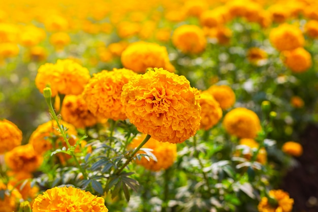 Marigold field, yellow flowers. natural background.