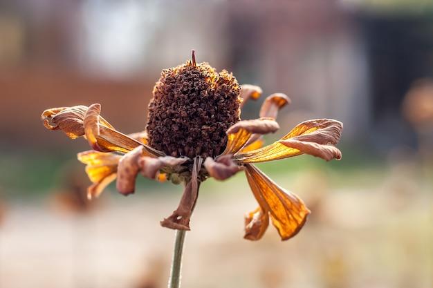 Цветок календулы после первых заморозков осенью. семья астра. приглушенные тона. выборочный фокус. фон размытый. Premium Фотографии