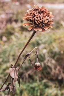 Цветок календулы после первых заморозков осенью. семья астра. приглушенные тона. выборочный фокус. фон размытый.