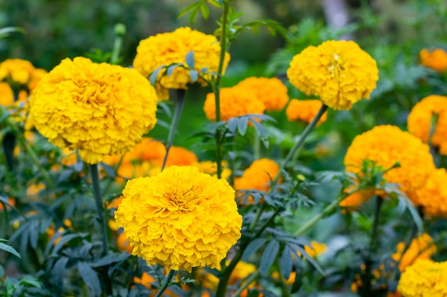 Marigold flower blossom in garden. head of yellow marigold plant, close up