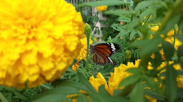 Marigold flower & butterfly.