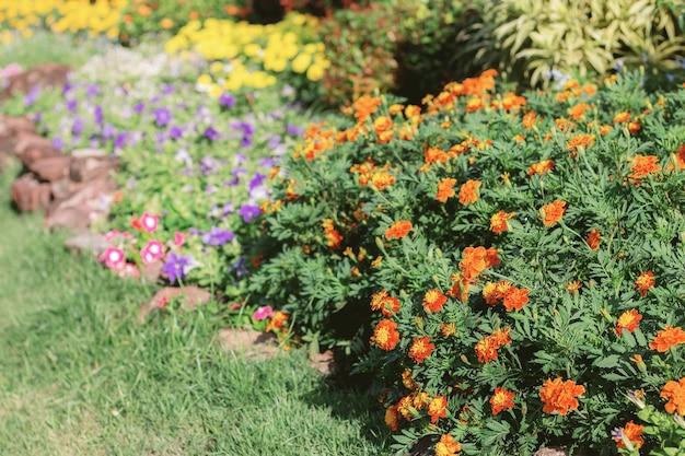 Marigold flower in garden.