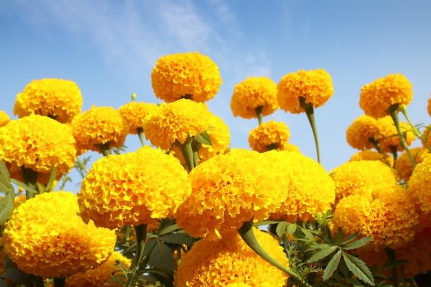 Цветок календулы на голубом небе