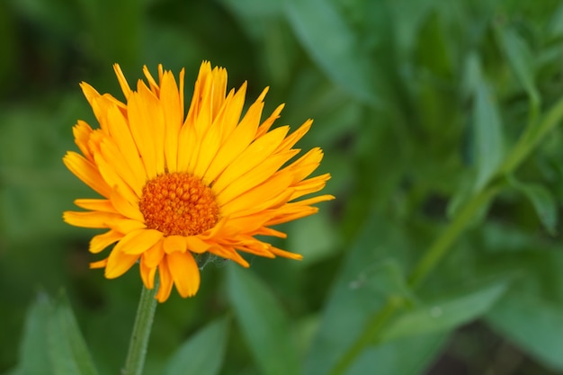 Marigold flower in sunlight. blooming calendula in summertime with blurred green natural background. shallow depth of field.