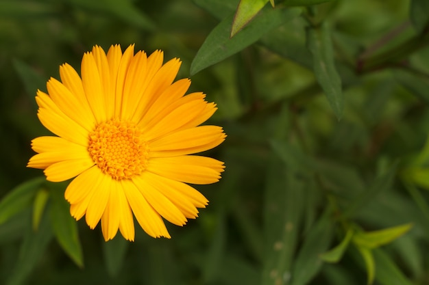 Marigold flower in sunlight. blooming yellow calendula in summertime with blurred green natural background. shallow depth of field.