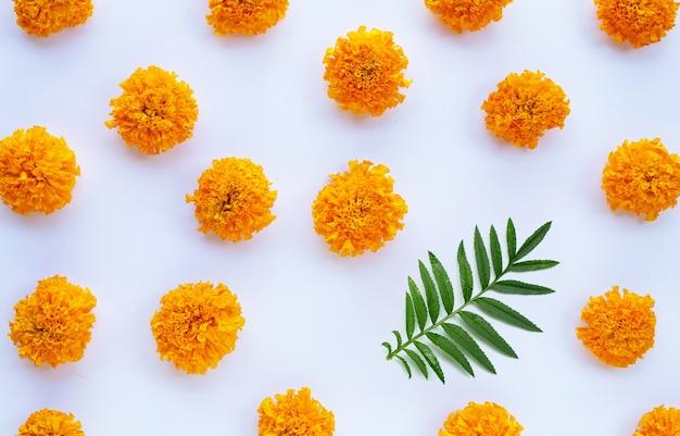 Marigold flower on white background.