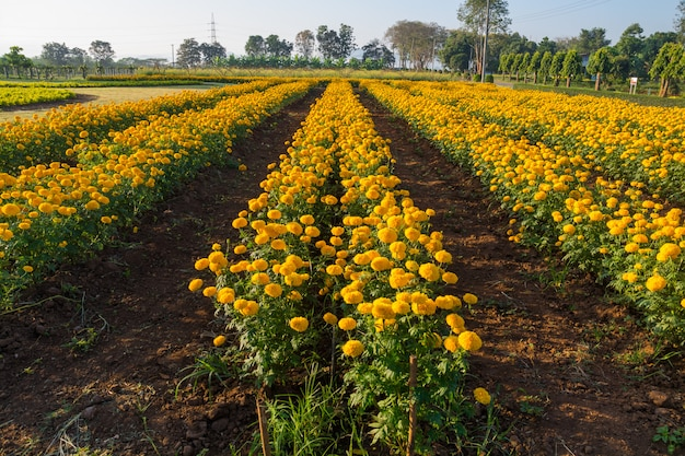 Marigold flowerbed beside road in thailand.
