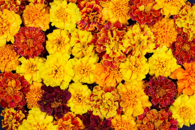 Marigold flowers are red yellow and orange, background a frame for halloween and dia de los muertos is a musical celebration