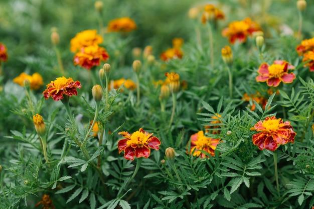 정원에서 금 잔 화 꽃 꽃