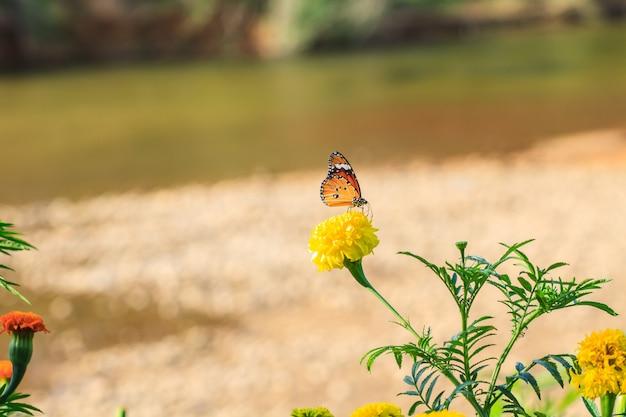 Marigold  flowers field
