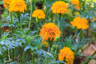 Marigold  flowers field