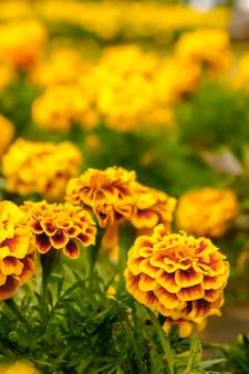 여름 노란 꽃에 정원에서 금 잔 화 꽃
