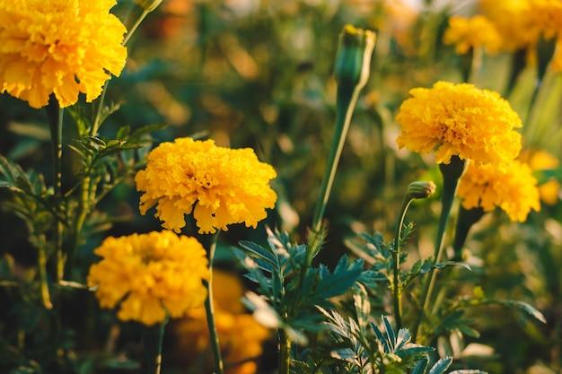 정원에서 금 잔 화 꽃