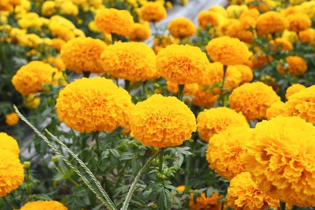 Marigold flowers in the meadow in flower garden