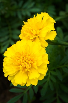 Marigold flowers in the meadow