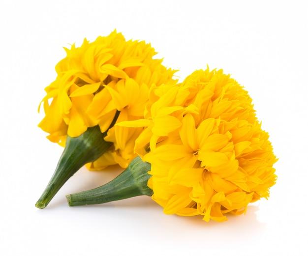Marigold flowers on white background