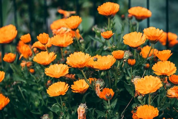 낮에 무성한 여름 정원에서 꽃이 만발한 밝은 주황색 꽃잎을 가진 금잔화 꽃