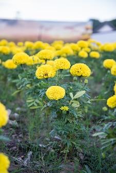 Marigold in the garden of thailand, yellow flower.