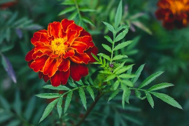 秋のマリーゴールド、ベッドの中で鮮やかな赤と黄色の花。タゲテスパチュラ。