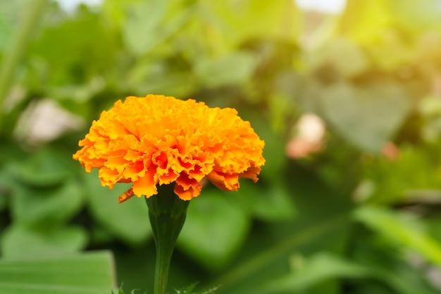금잔화는 태국 사람들에게 매우 인기 있는 꽃입니다. tagetes 에렉타 일반 이름 marigold.