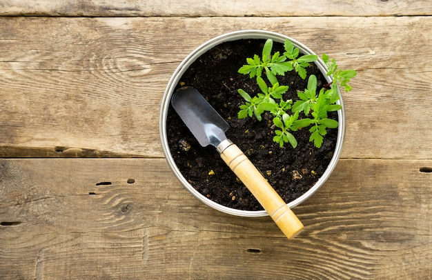 Marigold seedlings in pot on a wooden background
