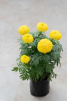 Бархатцы в черном пластиковом горшке на бетонном полу, цветы календулы - желтый куст, используются в гирляндах разных типов для поклонения монахам и священным вещам в соответствии с верованиями.