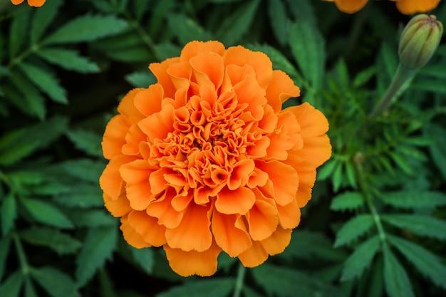 Marigolds background of flowers tagetes, gold marigold close up