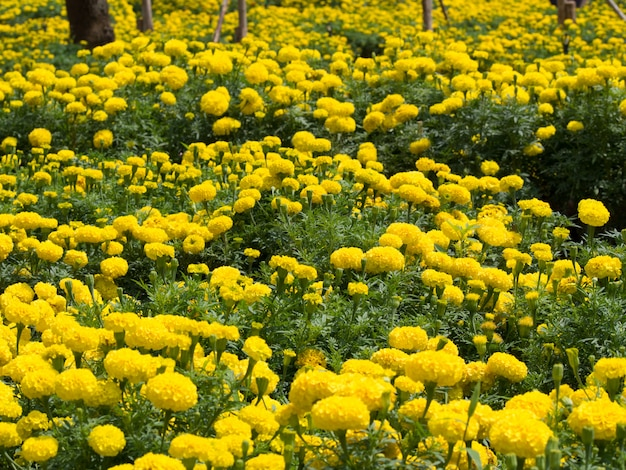 Marigolds field in the park