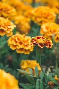 Цвет календулы в саду