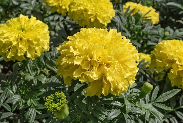 Marigolds flowers yellow color on green background flowers and plants
