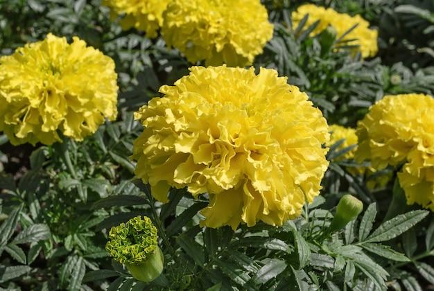 マリーゴールドの花は緑の背景に黄色の花と植物