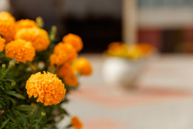 Marigolds, mexican marigolds, african marigolds. flower beds with beautiful marigolds.