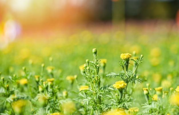 Marigolds in the yellow garden