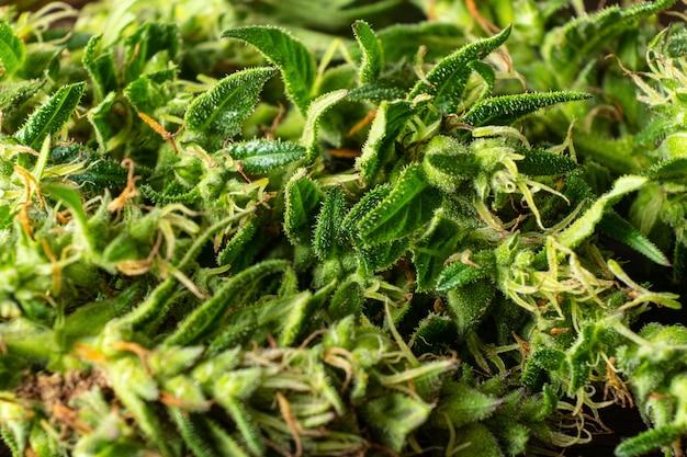 마리화나 범프 매크로 대마초 약 및 진통제 식물을 닫습니다