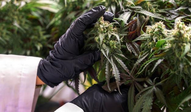 Наука о марихуане, каннабисе, thc и cbd, химический лекарственный препарат на травах для здоровья в лаборатории.
